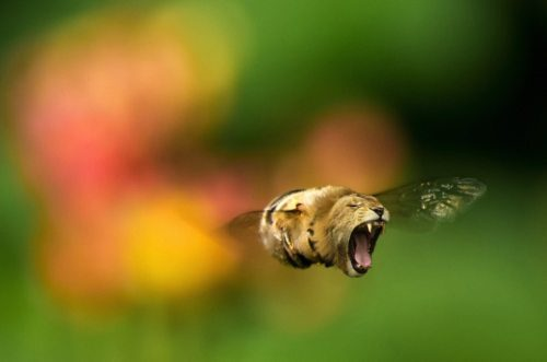 Lion bee