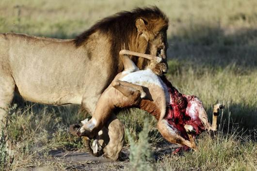 lion20carrying20impala