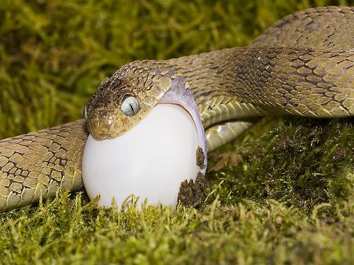 snake%20egg
